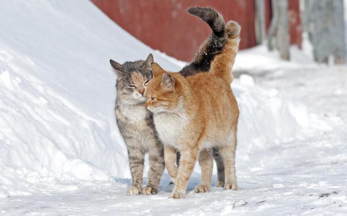половое созревание у кошек