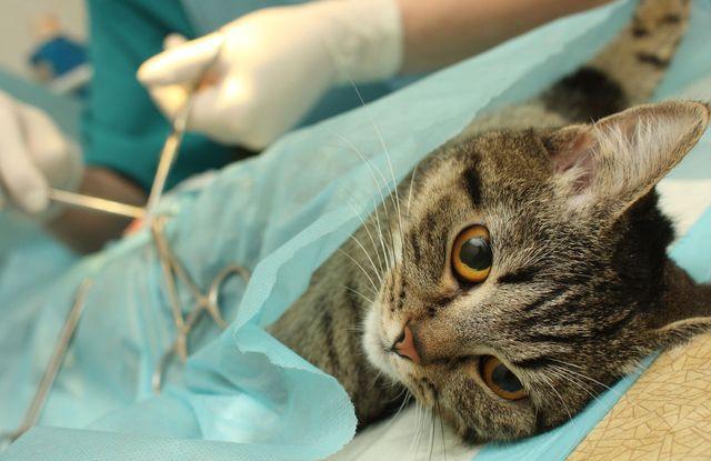 Хирургия для вашей кошки