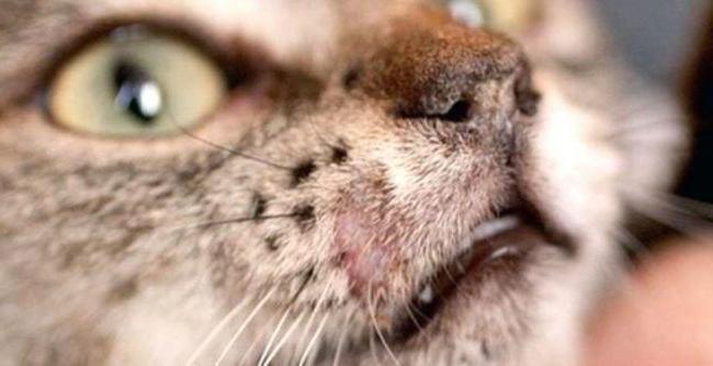 прививка от лишая кошке