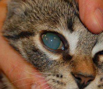 глаукома у кота