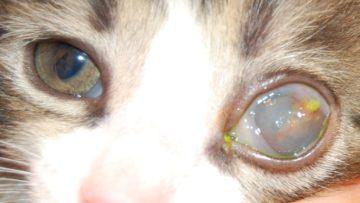кератит у кота