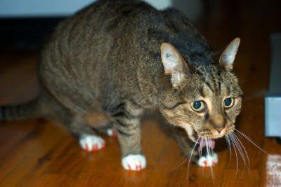 кошку тошнит
