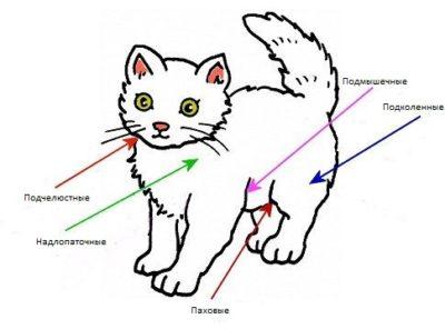 места расположения лимфоузлов у кошки