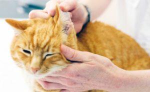 осмотр уха у кота
