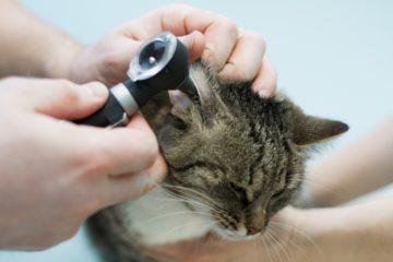 осмотр ушей у кошки
