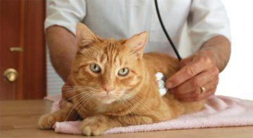 ветеринар слушает кота
