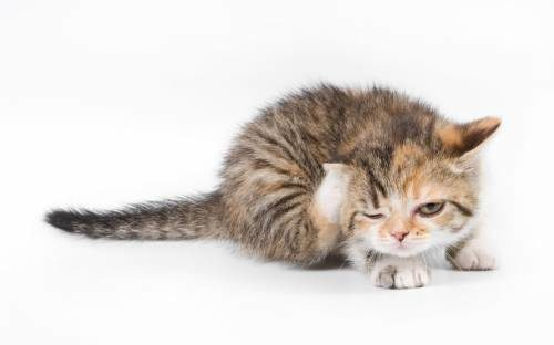 котенок чешет ухо