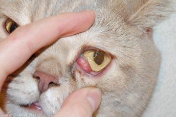 у кошки воспалился глаз