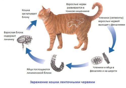 заражение кошек глистами