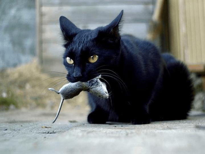 Кошка может съесть отравленную мышь