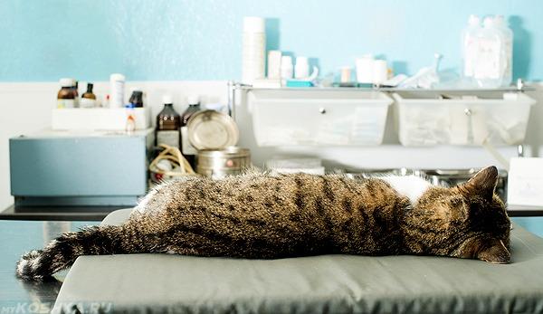 Кот заснул после наркоза