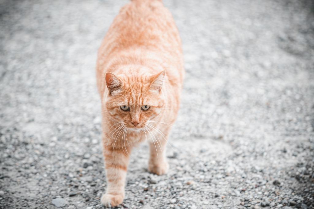 Ожирение у кошек от переедания