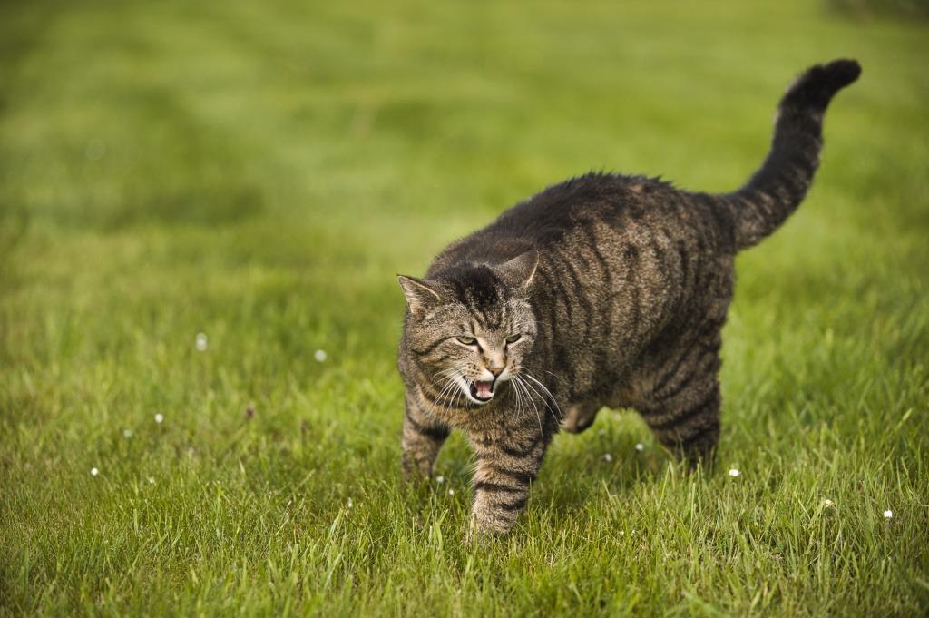 кошка кашляет, как будто подавилась от аллергии